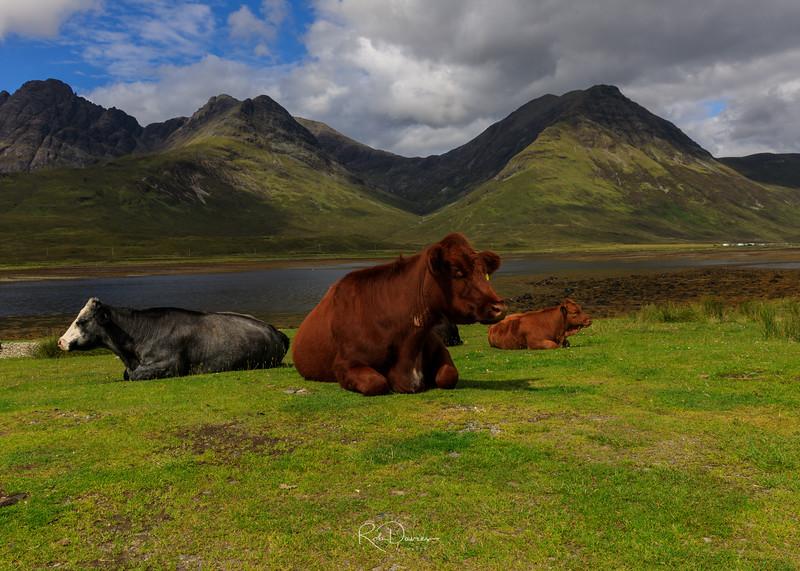 Cows of Skye