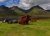 Cows of Skye