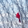 Cardinal in Snow, Abstract