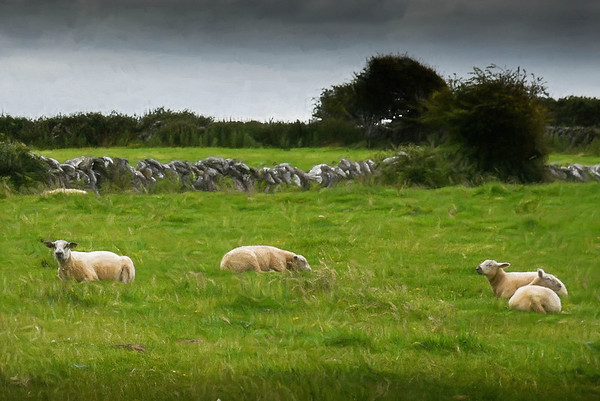 Sheep at Rest, color