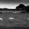 Sheep at Rest, painterly, BW