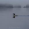 Morning Loon; Duck and Rosebud Island in the background