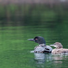 Loons on the lake, mom & baby