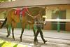 Haydock Park Lester Piggott Day 29/09/2012 The Nationwide Platforms Handicap Stakes (Class 2) Lady Kashaan, Alan Swinbank