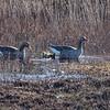 Greylag goose - Graugans - Anser anser