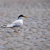 Little tern - Zwergseeschwalbe - Sterna albifrons