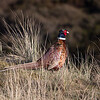 Ring-necked pheasant - Fasan - Phasianus colchicus