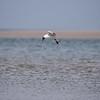 Black-headed gull - Lachmöwe - Larus ridibundus