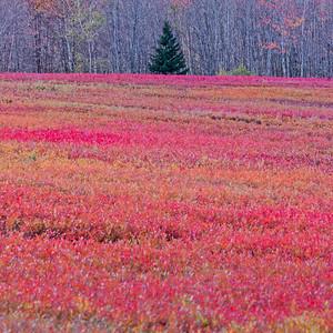 Autumnal blueberry field and fir tree, Maine, USA