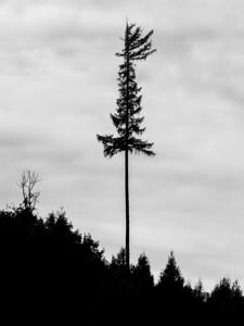 Tree silhouette 15