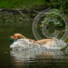 Wrencourt Retriever training July-115