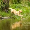 Wrencourt Retriever training July-105