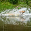 Wrencourt Retriever training July-121