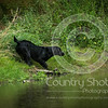 Wrencourt Retriever training July-161