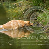 Wrencourt Retriever training July-112