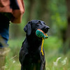 Wrencourt Retriever training July-24