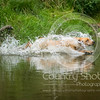 Wrencourt Retriever training July-119