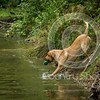 Wrencourt Retriever training July-124