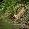 Wrencourt Retriever training July-123