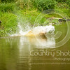 Wrencourt Retriever training July-108