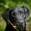 Wrencourt Retriever training July-274