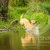 Wrencourt Retriever training July-106
