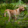 Wrencourt Retriever training July-56