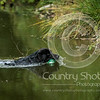 Wrencourt Retriever training July-90