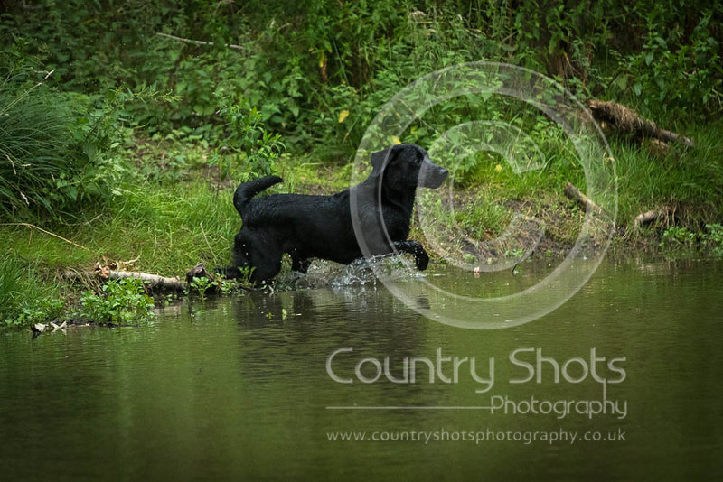 Wrencourt Retriever training July-162