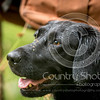 Wrencourt Retriever training July-268