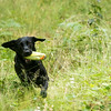 Wrencourt Retriever training July-227