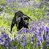 Bluebell Dog Shoot Saturday-12