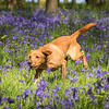 Bluebell Dog Shoot Saturday-7