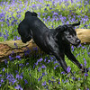 Bluebell Dog Shoot Saturday-14