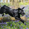 Bluebell Dog Shoot Saturday-16