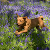 Bluebell Dog Shoot Saturday-10