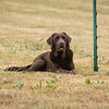 Gundog Club Level 1 & 2 Asessment Helen Phillips-10