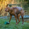 Gundog Club Asessments Ryden Farm 7D-5