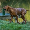 Gundog Club Asessments Ryden Farm 7D-4