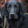 Flat Coat Retriever Training Day-22