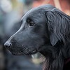 Flat Coat Retriever Training Day-21