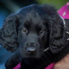 Midlands Flatcoated Retriever Working Test Curborough May-140