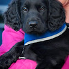 Midlands Flatcoated Retriever Working Test Curborough May-145