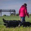 Midlands Flatcoated Retriever Working Test Curborough May-139