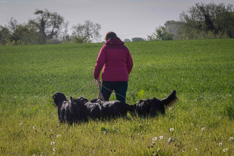 Midlands Flatcoated Retriever Working Test Curborough May-138