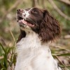 WGDS Working Test Brockhill Spaniels April 2018-165