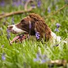 WGDS Working Test Brockhill Spaniels April 2018-214