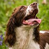 WGDS Working Test Brockhill Spaniels April 2018-210