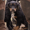 WGDS Working Test Brockhill Spaniels April 2018-175