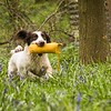 WGDS Working Test Brockhill Spaniels April 2018-215